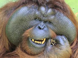 stock photo of orangutan  - Big male Orangutan cleaning his teeth - JPG