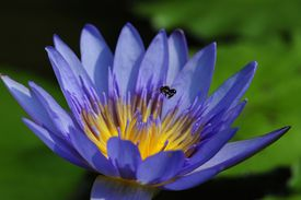 stock photo of sand lilies  - Purple water lily is beautiful sand colourful - JPG