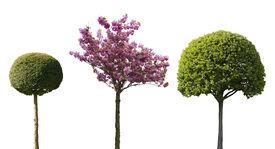 stock photo of juniper-tree  - three ornamental trees isolated on white background - JPG
