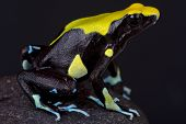 image of poison dart frogs  - The dyeing dart frog is a large - JPG