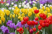 pic of wildflowers  - tulip. Beautiful bouquet of tulips. colorful tulips. tulips in spring