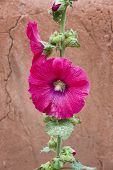 foto of rose sharon  - Red Rose of Sharon  - JPG