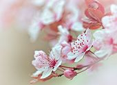 picture of planting trees  - Flowering - blooming fruit tree, selective focus on flower