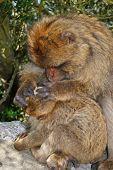 image of grooming  - Female Barbary Ape  - JPG