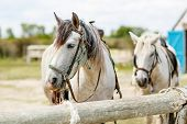 picture of character traits  - wild white horses of the Camargue Provence France - JPG