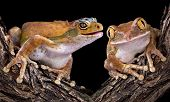 ������, ������: Gecko Frog With Friend