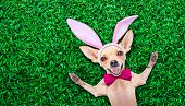pic of dog ears  - chihuahua dog dressed with bunny easter ears and a pink tie with egg on spoon isolated on white background - JPG