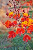 pic of bird paradise  - Buds begin to bloom on a Desert Bird of Paradise plant - JPG