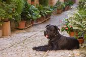 image of schnauzer  - Big Black Schnauzer dog is lying in the street decorated with plants and flowers in the historic Italian city - JPG