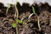 pic of semen  - group of small green seedling in the ground  - JPG
