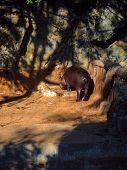 image of hippopotamus  - The small pygmy hippopotamus eat the feed - JPG