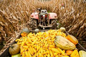 picture of tractor-trailer  - Old tractor with trailer full of corn cobs in a corn field - JPG