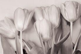 stock photo of monochromatic  - Monochromatic photo of the bouquet of tulips - JPG