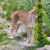 foto of lioness  - Large lioness in a bright green environment - JPG