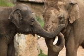 picture of indian elephant  - Two Indian elephants  - JPG