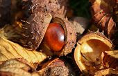 stock photo of chestnut horse  - Close up of a Horse Chestnut seed hatching from its prickly shell - JPG
