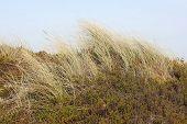 picture of dune grass  - The European beach grass  - JPG
