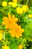 pic of cosmos flowers  - yellow cosmos flower with bee in the garden - JPG