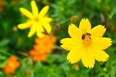 foto of cosmos flowers  - yellow cosmos flower with bee in the garden - JPG