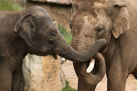 foto of indian elephant  - Two Indian elephants  - JPG