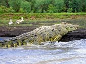 6M-Long Crocodile, Lake Chamo, Ethiopia poster