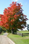 foto of maple tree  - a maple tree shows it - JPG