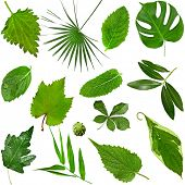 Collection of various  fresh green leaves: leafs of herb and grass, leaf of tree and bush, close up  poster
