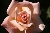 foto of pink rose  - A rose has just bloomed and this is a glimpse inside the petals - JPG