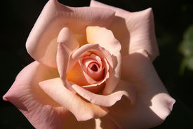 stock photo of pink rose  - A rose has just bloomed and this is a glimpse inside the petals - JPG