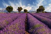 pic of lavender field  - Image shows a lavender field in the region of Provence southern France photographed on a windy afternoon - JPG