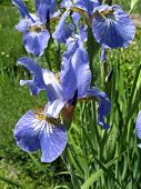 Colorful Irises In The Garden, Perennial Garden. Gardening. Bearded Iris Group Of Blue Irises In The poster