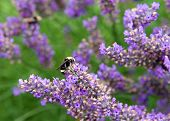 Bumble Bee Collecting Pollen From French Lavender Flowers. Bumblebees Have Round Bodies Covered In S poster