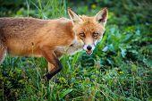 Red fox in its natural habitat - wildlife shot poster