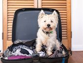 Pet Friendly Accommodation: Scruffy West Highland White Terrier Westie Dog In Packed Suitcase Luggag poster