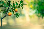 Orange tree garden, fresh green tree with little orange fruits on blurry background, summer time, ha poster