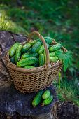 Basket With Cucumbers. Autumn Harvesting. Summer Harvest. Blanks For The Winter. Basket Of Vegetable poster