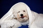 Dog under quilt. White dog under white baby blanket. white dog under white quilt on blue velvet. dog poster