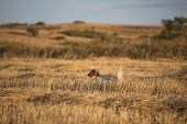 foto of english setter  - side view of white english setter purpurebred dog on cultivated wheat field - JPG