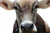 Постер, плакат: Портрет коровы над белой