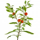 picture of belladonna  - Nightshade plant with red berries on white background - JPG