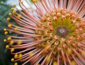 pic of fynbos  - Protea flower fynbos South african type indigenous flower - JPG