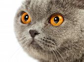 picture of portrait british shorthair cat  - blue british shorthair cat - JPG