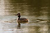 picture of great crested grebe  - Great Crested Grebe swimming on lake in Sessex - JPG