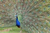 picture of indian peafowl  - Details of an indian peafowl displaying in captivity - JPG