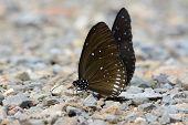 Long-branded Blue Crow Butterfly (euploea Algea) poster