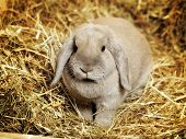 stock photo of dwarf rabbit  - gray lop - JPG