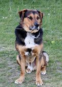 stock photo of cattle dog  - A Huntaway dog used for working sheep and cows - JPG