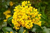 image of aquifolium  - flower Oregon grape against the background of green foliage - JPG