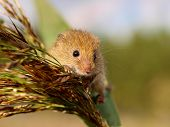 foto of field mouse  - Harvesting Mouse  - JPG