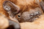 image of bat wings  - Close up of a bat  - JPG
